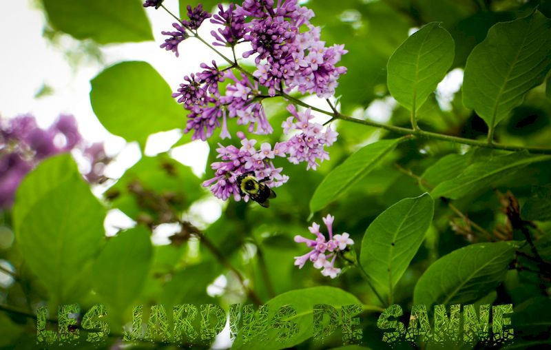 Rooting Lilac Cuttings - Take Cuttings Of Lilac Bushes