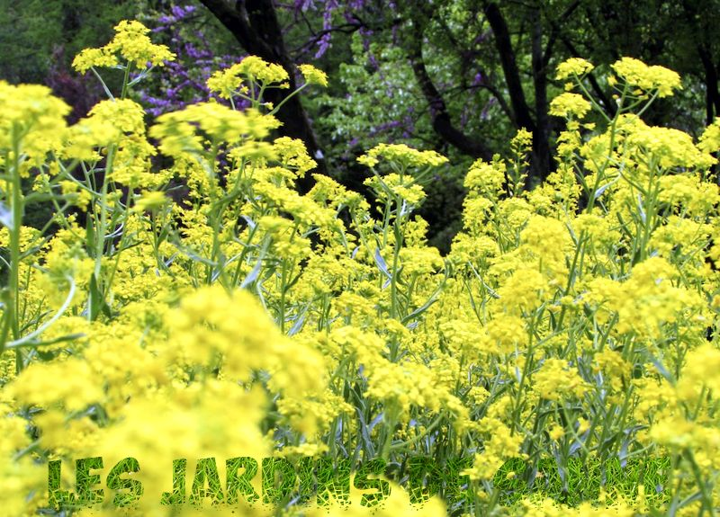 What Is A Woad Plant - How To Grow Woad Plant in The Garden