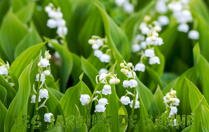 Lily of the Valley Division - Hur man delar upp en lily of the Valley Plant