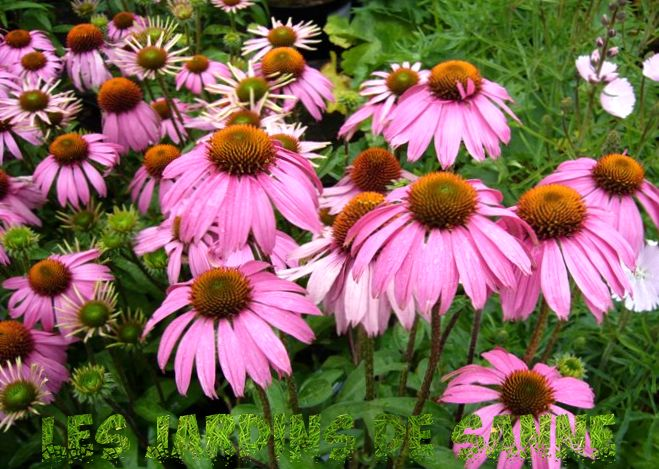 Coneflower Care - Odling och plantering Purple Coneflower