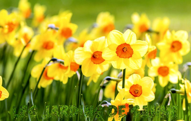 Narcissus Plant Info - Jonquil, Narcissus And Daffodil Bulbs