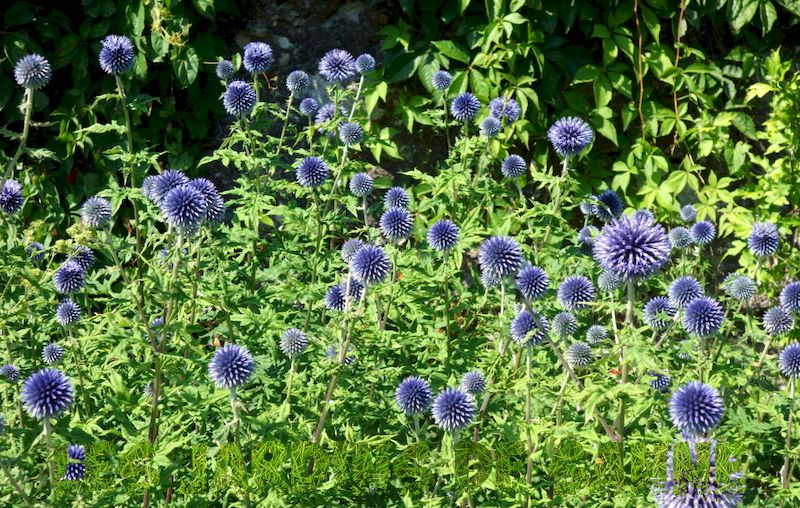 Growing Globe Thistle Flowers - Information om Globe Thistle Echinops