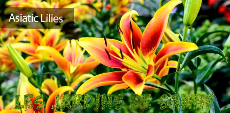 Asiatic Lily Care - How To Grow Asiatic Lilies