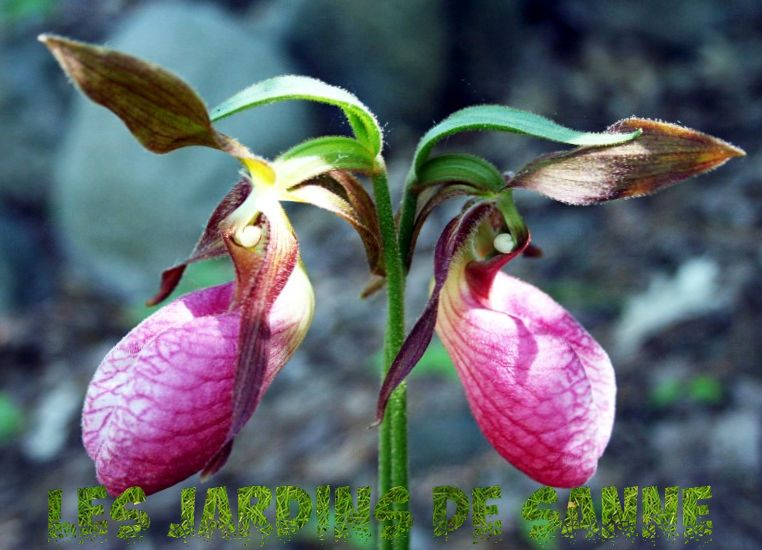 Wild Lady Slipper Orchids - Growing A Lady Slipper Wildflower
