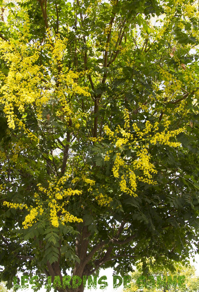 What Is A Golden Raintree - Guide to Growing Golden Raintrees