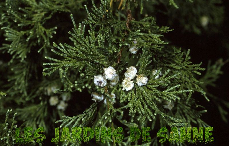 Atlantic White Cedar Info - Hur man odlar Atlantic White Cedar Tree