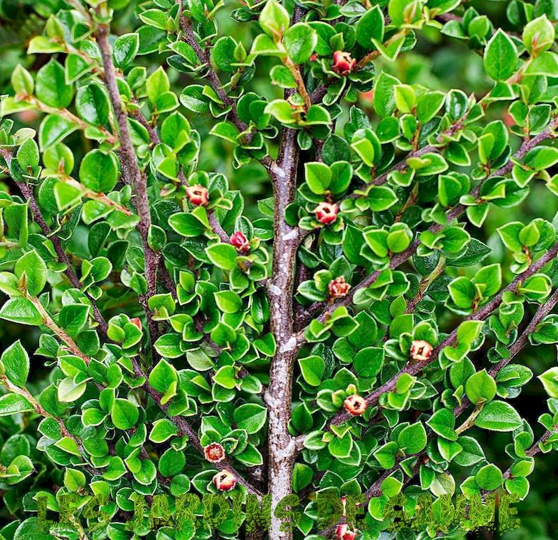 Hedge Cotoneaster Plant Info - Growing Hedge Cotoneaster Plants