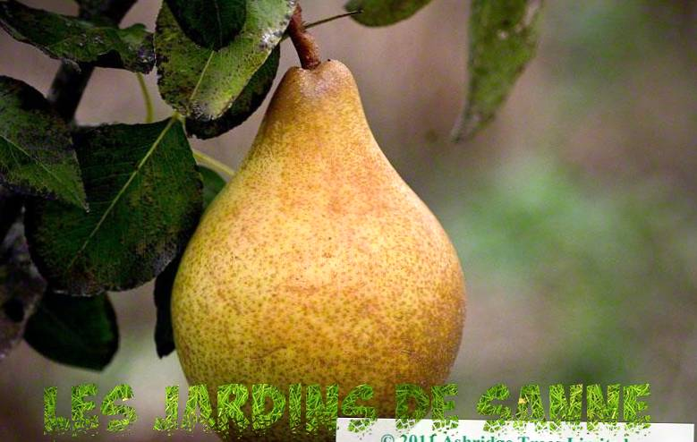 Comice Pear Trees - Growing Comice Pears In The Garden Garden