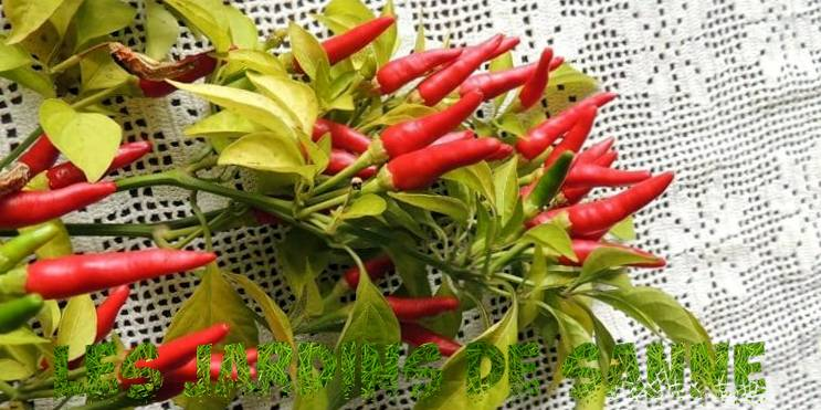 What Is A Hawk Claw Pepper - Growing And Eat Takanotsume Chili Peppers