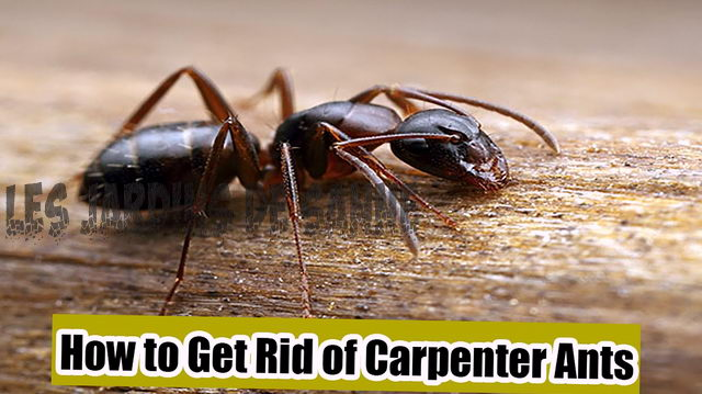 Hur blir jag av Carpenter Myror: Hem Remedies For Carpenter Myror
