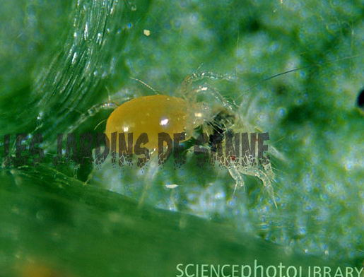 Spider Mite Detection och Spider Mite Natural Control
