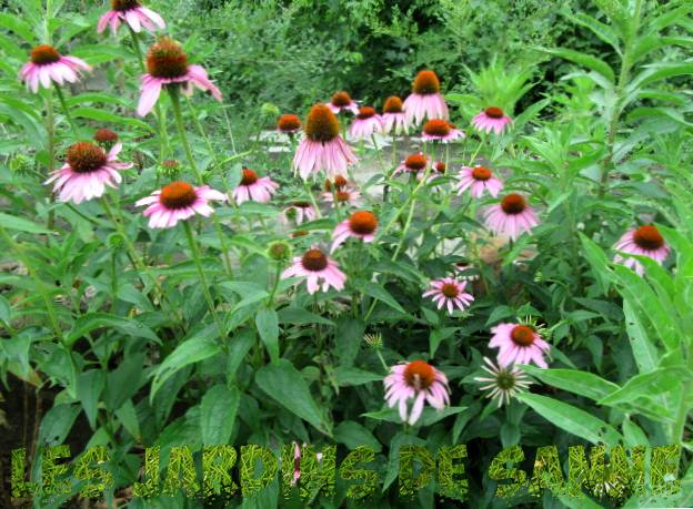 Zulu Prince Daisy Plant - How To Care For A Zulu Prince African Daisy